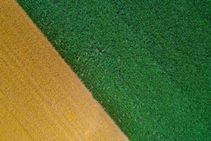 Top down photo of two fields that have different colors. Probably wheat and corn You can easily observe rows in crops